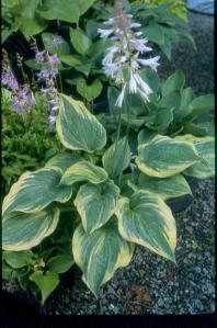 Hosta 'Andy Murray'